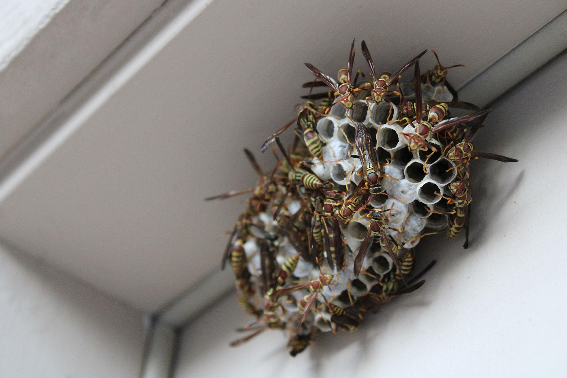 Destruction de nids de guêpes