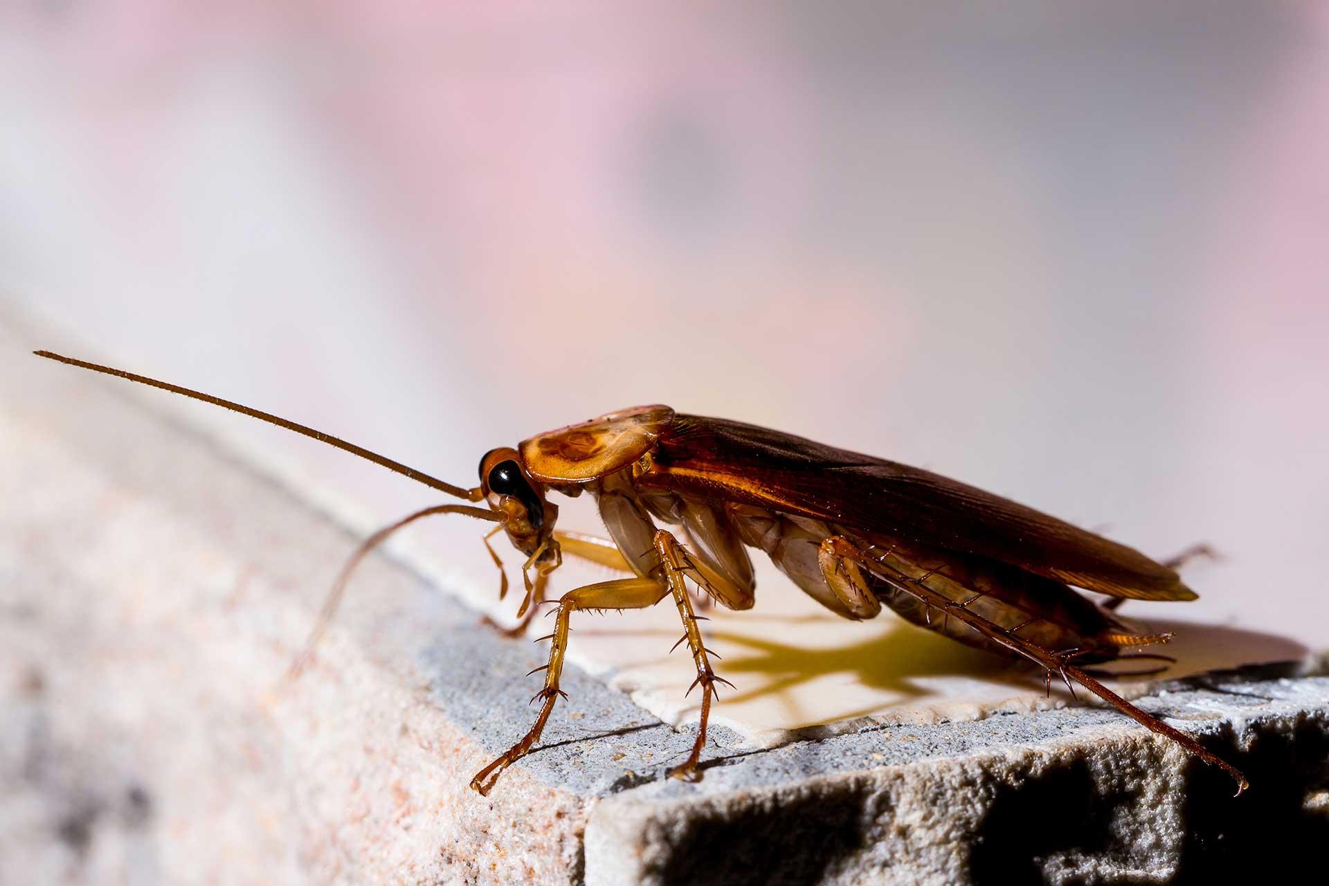 Elimination de blattes et cafards