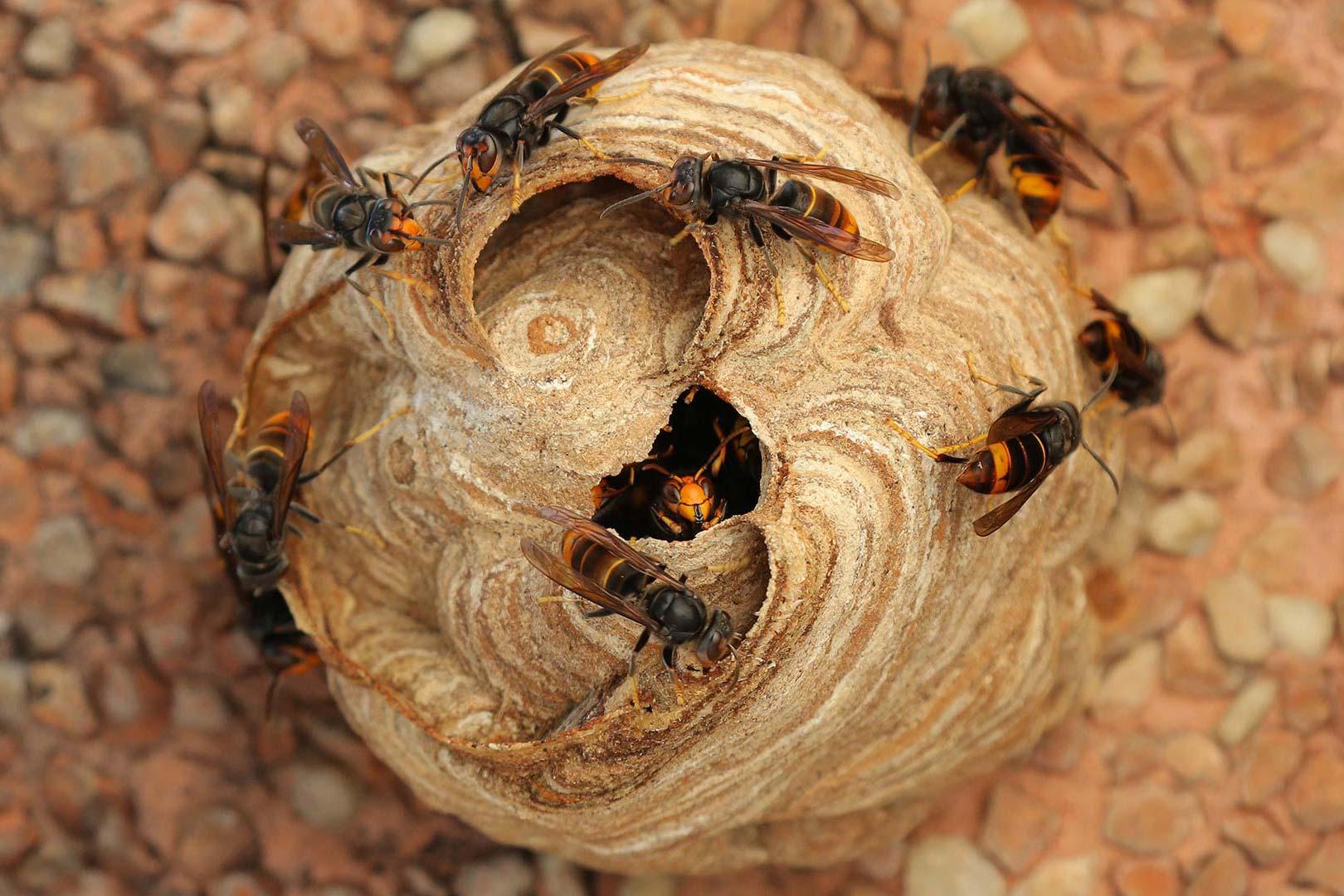 Destruction de nids de frelons