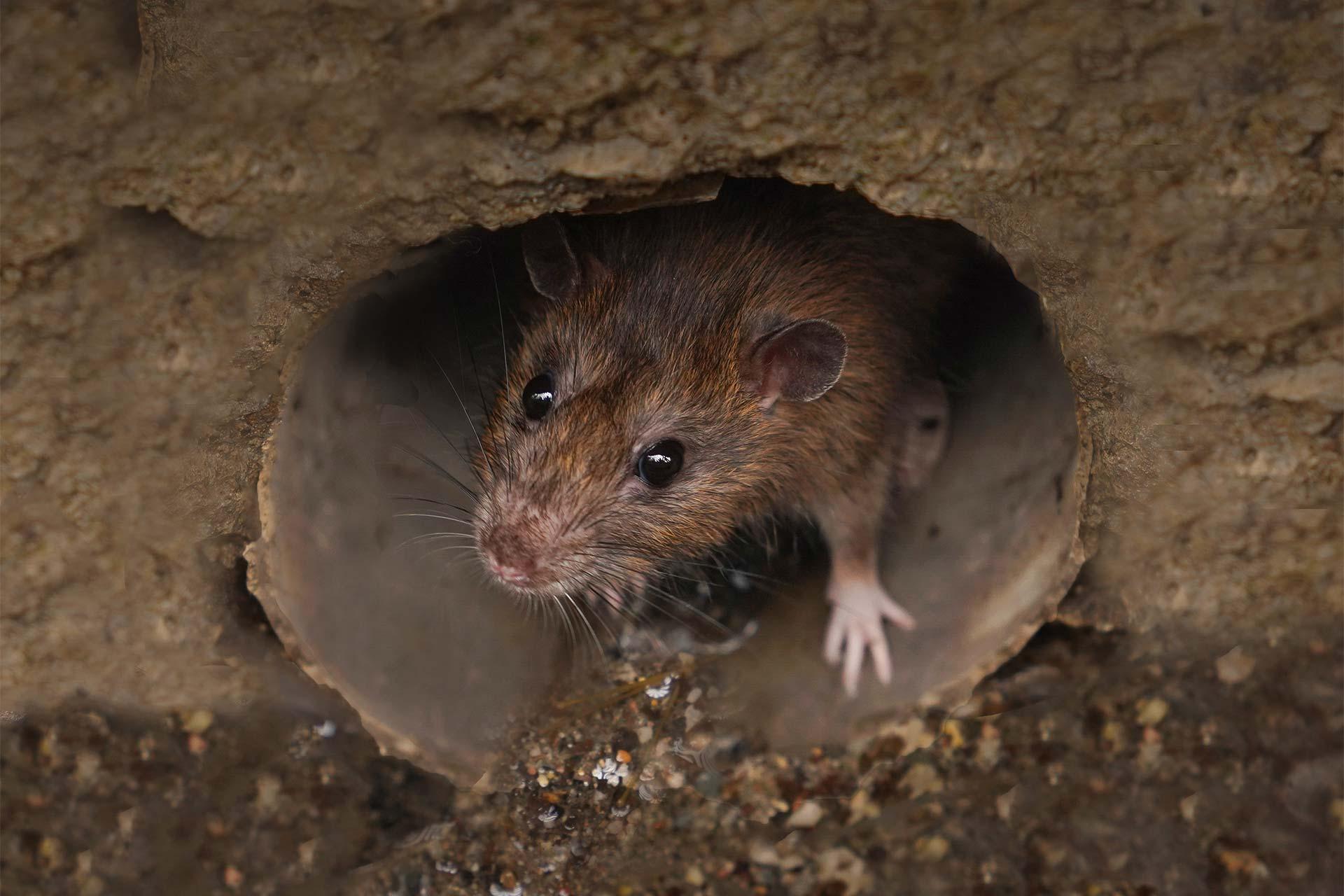 Élimination de rats et souris